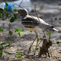 Thick-knee  -  Indian Thick-knee