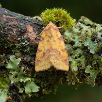 Moths of the UK