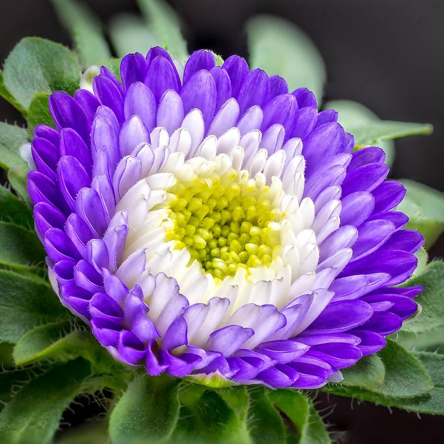 Wide Open by Linda Richardson - Flowers Single Flower ( macro, purple, single flower, focus stacking, flower )