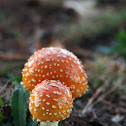 Peach-Colored Fly Agaric