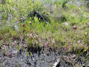 "Photo: Meanwhile extinct due to poaching: Sarracenia leucophylla ""pink tube"" at Tate's Hell (Florida Panhandle)."