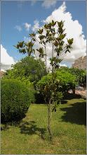 Photo: Magnolia grandiflora  - din Turda, Piata 1 Decembrie 1918, parc - 2019.06.28