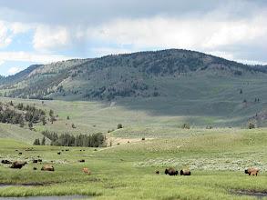 Photo: Buffalo grazing in Yellowstone National Park