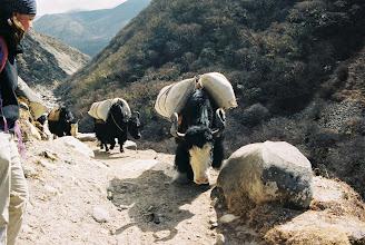Photo: Die Yaks sind als Trage- und Nutztiere allgegenwärtig