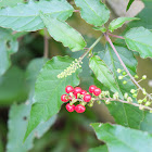 Pigeon berry or Rouge plant