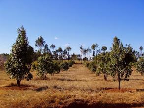 Photo: Ravintsara 2010