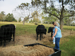 Photo: Feeding Time for the Black Angus