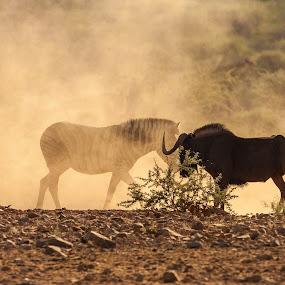 Zebra and Black Wildebeest by Ada Louw - Animals Other