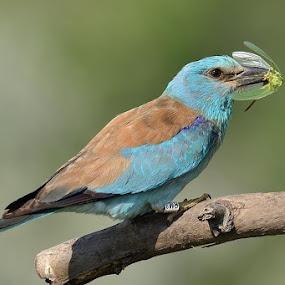 Gotcha! by Bostjan Pulko - Animals Birds ( pwctaggedbirds )