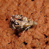 Everlasting Tebbena Moth