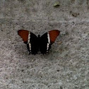 Rusty-tipped Page. Siproeta epaphus