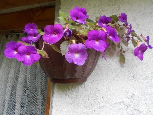 Ахименес  Achimenes hybridum hort  За Дома  wwwzadomacom