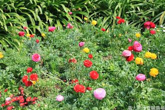 Photo: 拍攝地點: 梅峰-溫帶花卉區 拍攝植物: 陸蓮 拍攝日期: 2014_02_18_FY