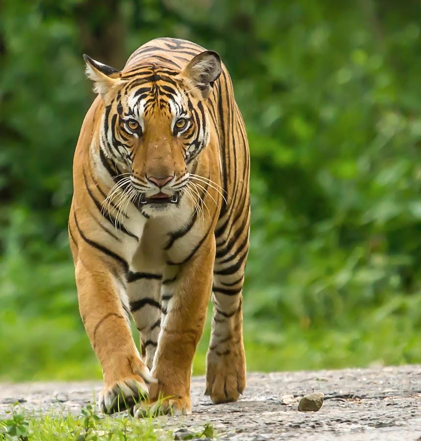 by S Balaji - Animals Lions, Tigers & Big Cats (  )