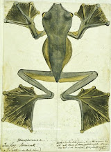 """Photo: Watercolour painting of Wallace's Flying Frog (Rhacophorus nigropalmatus) from Sarawak by Wallace in 1855. First published: Raby (2001). The illustration """"Flying frog"""" in Wallace's book The Malay Archipelago is based on this painting. Scanned with permission from the Wallace family. Copyright of scan: A. R. Wallace Memorial Fund."""