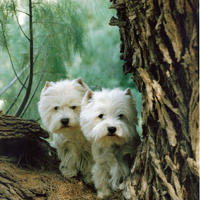 Mother and Daughter by Carla Maloco - Animals - Dogs Portraits ( canine, pet, west highland terrier, dog, portrait, pwc84,  )