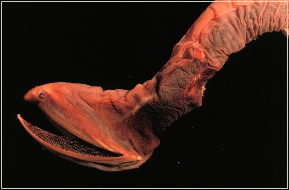 Enguia pelicano, o bizarro peixe das profundezas