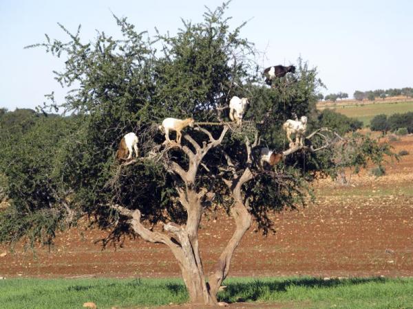 Photo: Козы Марокко, пасущиеся на деревьях