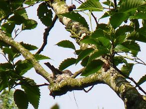 Photo: Western Wood Peewee on its nest