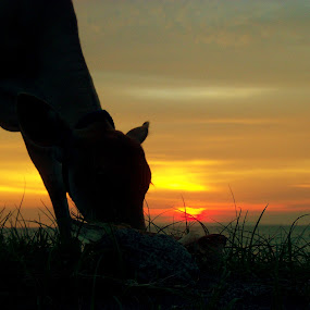 Cow with Sunset by Wanz Wan - Animals Other Mammals ( sunset, cow, beach, meninting, animal )