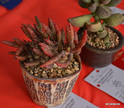 Photo: Adromischus maraniae v antidorcatum (Tag missing just 1 letter from name makes it difficult to find!)