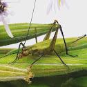Black horned tree cricket
