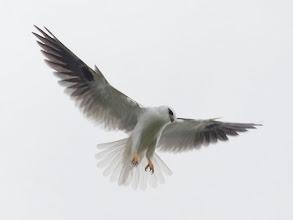 Photo: Black-shouldered Kite hovering