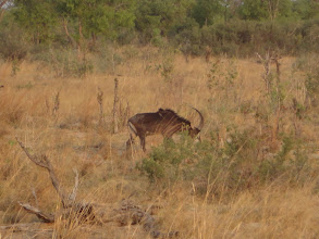 Photo: Another sable antelope
