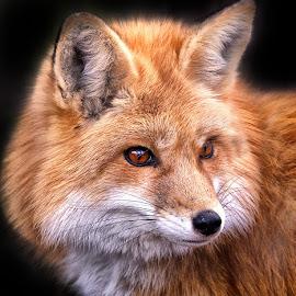 by Dennis Bartsch - Animals Other Mammals (  )