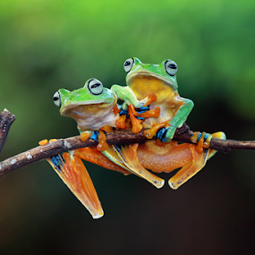 by Kurit Afsheen - Animals Amphibians ( animals, macro, nature, tree frog, frogs, amphibians )