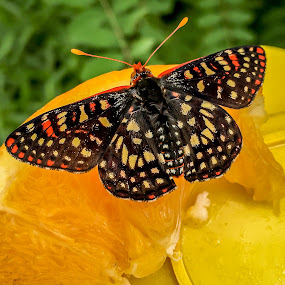 Checkered Butterfly by Leah N - Animals Insects & Spiders ( enite phone library,  )