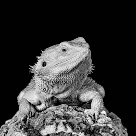 by Garry Chisholm - Black & White Animals ( bearded dragon, nature, reptile, lizard, garry chisholm )
