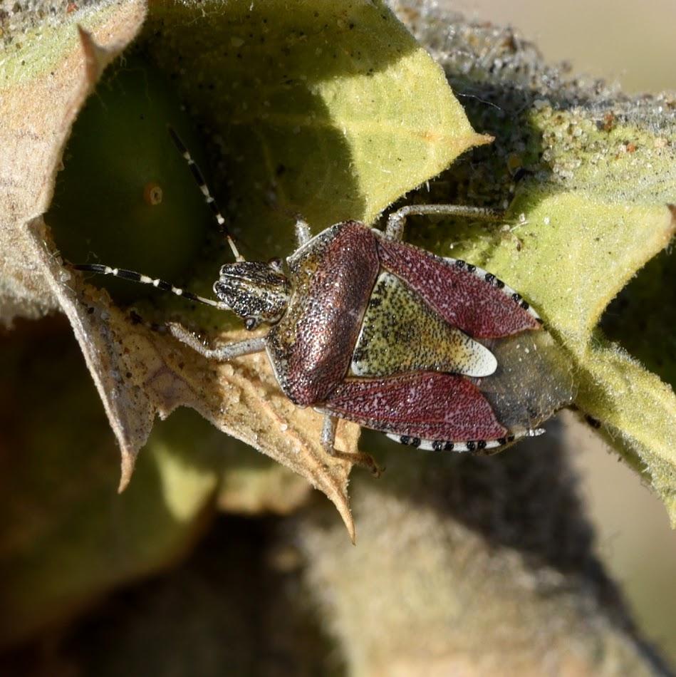Bessenwants - Dolycoris baccarum
