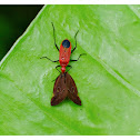 Dindymus rubiginosus 泛光紅蝽