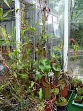Photo: Nepenthes truncata (Mitte)