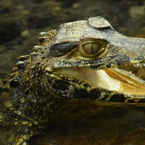 Toothy smile by Ada Irizarry-Montalvo - Animals Reptiles (  )