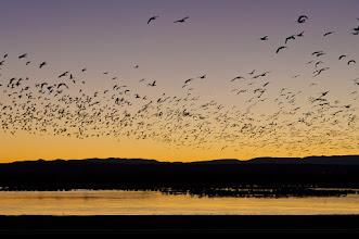 Photo: Snow geese - Bosque del Apache