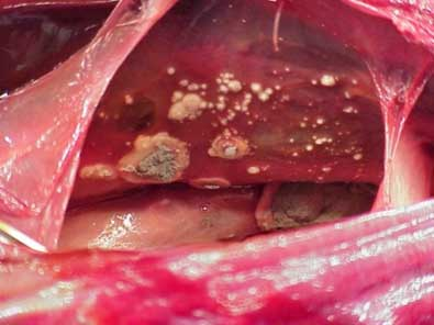 Aspergillosis spores in the lungs of a bird