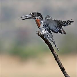 Giant kingfisher by Johann Harmse - Animals Birds ( bird, nature, kingfisher, giant kingfisher, king fisher, birds,  )