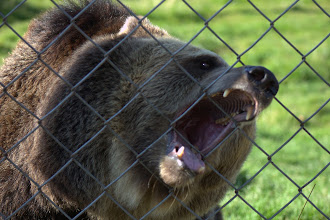 Photo: Brown bear at the zoo - they really liked chewing on the fence