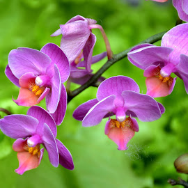 orchid by SANGEETA MENA  - Flowers Flowers in the Wild (  )