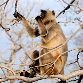 Gray langurs or Hanuman langurs, by Rakesh Sharma - Animals Other Mammals ( gray langurs or hanuman langurs )