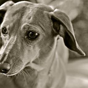 Diggitty by Denise Zimmerman - Animals - Dogs Portraits ( brown backround, dachshund, brown dog, dog,  )