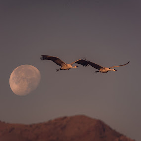 To The Moon & Back by Ronnie Sue Ambrosino - Animals Birds ( migration, moon, cranes, mountain, fly, sandhill, dusk,  )