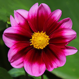 Pink! by Anthony Goldman - Flowers Single Flower ( colrful, nature, wil, flower, botanic garden,  )