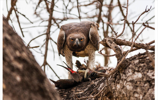 July 2016 category winner: Endangered Africa - A martial eagle, the largest African eagle, feasts on a hadeda near Lower Sabie, Kruger National Park. The species' status is vulnerable.