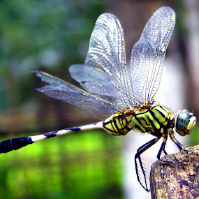 Dragonfly by Rajen Gogoi - Animals Insects & Spiders