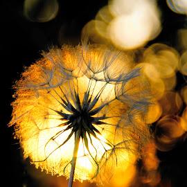 dandelion seeds in the sunset by Kim Moeller Kjaer - Nature Up Close Other plants