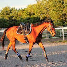 Romeo by Marsha Grimm - Animals Horses ( nature, horse,  )