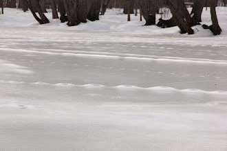 Photo: Coyote ice trails on the river